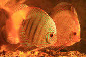 Two colorful discus — Stock Photo