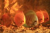 Five colorful discus — Stock Photo