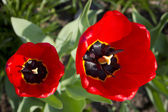 Two red tulip flowers — Stok fotoğraf