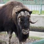 Buffalo at the zoo — Stock Photo #43261753