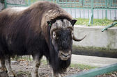Buffalo at the zoo — Foto de Stock
