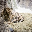 A jaguar is in the Moscow zoo — Stock Photo #45101331