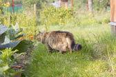 Siberian cat 3 — Stock Photo