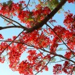 Stock Photo: Royal Poinciana