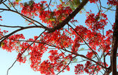 Royal Poinciana — Stock Photo