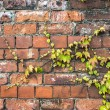 Green ivy plant creeping across an old brick wall — Stock Photo