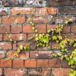 Green ivy plant creeping across an old brick wall — Stock Photo #28404763