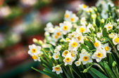 Bunch of white daffodils at a spring flower market — 图库照片