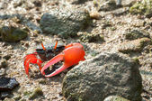 Red-clawed fiddler crab in the mangroves of Tai O, Hong Kong — Stock Photo