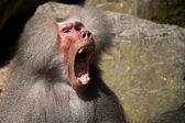 Un babouin fait peu de bruit — Photo