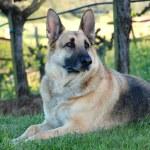 German Shepherd Dog — Stock Photo #13146578