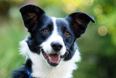 Bordercollie — Stockfoto