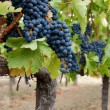Stok fotoğraf: Red grapes on vine.