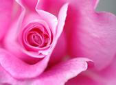 Closeup of a pink rose — Stock Photo