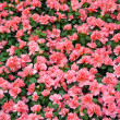 Field of azalea flowers — Stock Photo