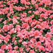 Field of azalea flowers — Stock fotografie