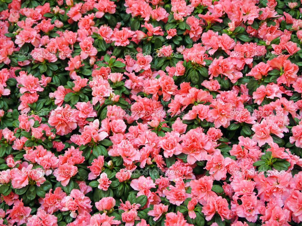 Флоксы  многолетние цветы в саду Посадка и уход