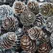 Stock Photo: Larch cones