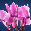 Cyclamen flowers — Stock Photo