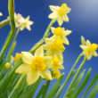 Daffodils — Stock Photo #23482979