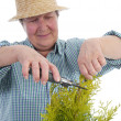 Senior gardener forming thuja tree — Stock Photo