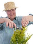 Senior gardener forming thuja tree — Stock Photo