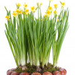 Daffodils and Easter eggs — Stok fotoğraf