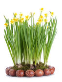 Daffodils and Easter eggs — Stock Photo