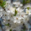 Blackthorn tree in blossom — Foto de Stock