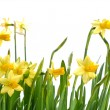 Daffodils — Stock Photo #38499579