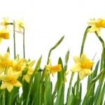 Daffodils — Stock Photo #38499579