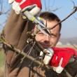 Fruit tree pruning — Stock Photo #41611669