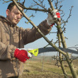 Fruit tree pruning — Stock Photo #41629633