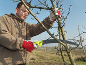 Fruit tree pruning — Stock Photo