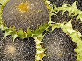 Edible sunflowers — Stock Photo