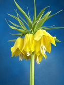 Crown imperial — Stock Photo