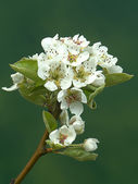 Pear tree in blossom — Stock Photo