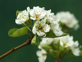 Pear tree in blossom — Stock Photo