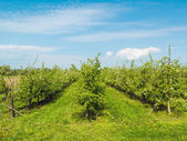 Orchard — Stock Photo