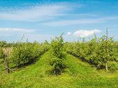 Orchard — Stock Photo