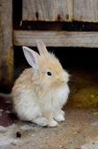 White rabbits — Stock Photo