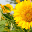Close-up Sun Flower — Stock Photo