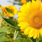 Close-up Sun Flower — Stock Photo