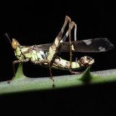 Grasshopper living — Stock Photo