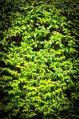Wrightia religiosa Benth. — Стоковое фото