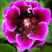 Fairy rose — Stockfoto
