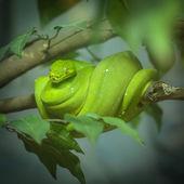 Green Tree Python  — Stock Photo