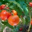 Growth  tomato - Stock Photo