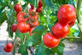 Growing tomatoes — Stock Photo