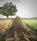Herbst Maisfeld — Stockfoto